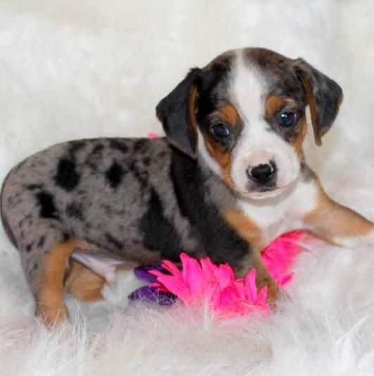Teacup Pocket Beagle Silver Harlequin Silver With Patches