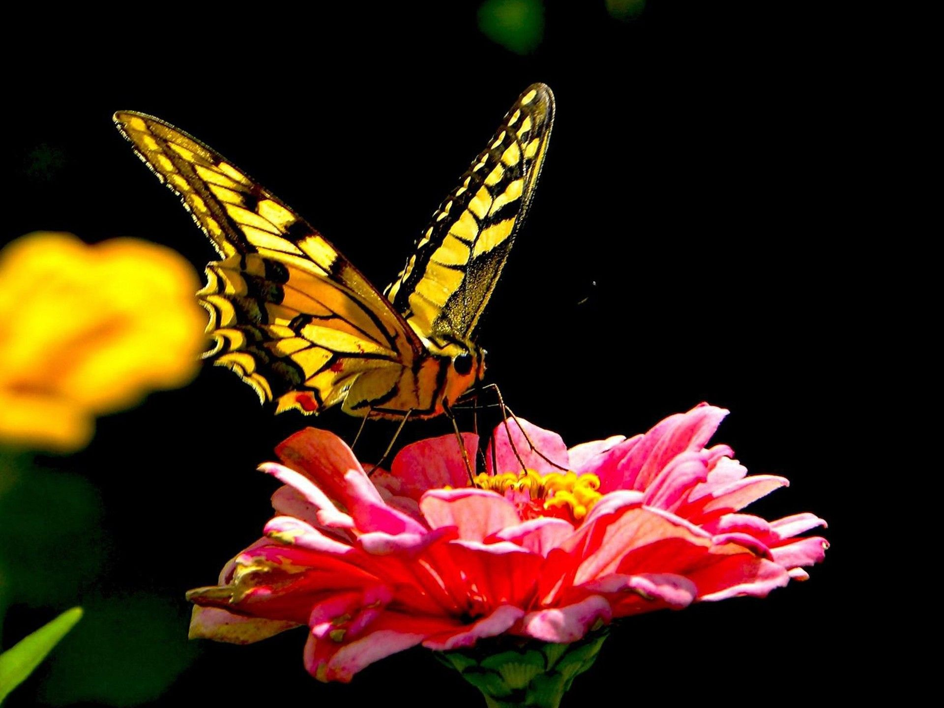 Dark Butterfly On Pink Flower Wallpaper Rate Select Rating Give