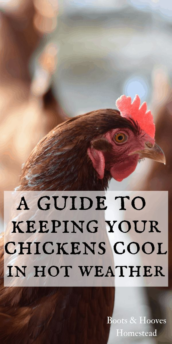 How to Keep Chickens Cool During the Summer   Chickens ...