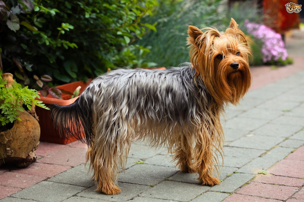 Yorkshire Terrier Terrier dog breeds, Yorkshire terrier