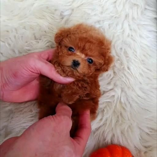 So cute micro poodle girl ❤️❤️ GINGER ❤️❤️  IG | rollyteacuppuppies   #poodle #poodlepuppy #poodlepuppies #toypoodle #teacuppuppies #teacuppuppy #teacuppoodle #teacupdog #cute #adorable #cutepuppy #cutepuppies #puppies #puppy #pups #paws #pets #puppiesforsale