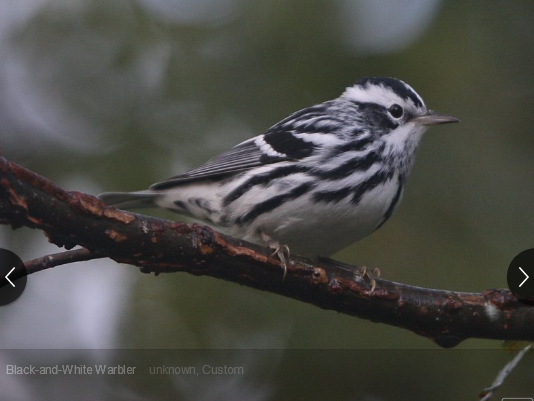 Black And White Warbler Mniotilta Varia One Of The Earliest