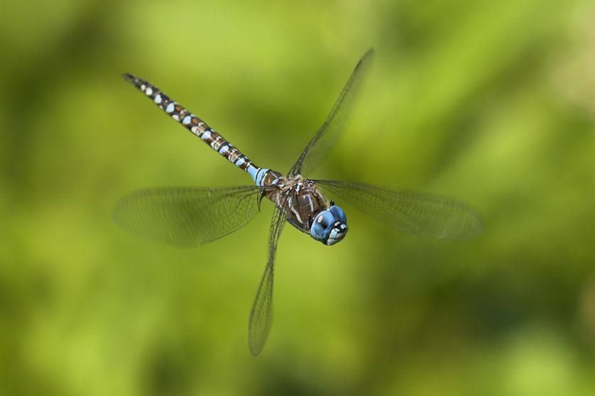Dragonflies are freaky fliers. A dragonfly can move its four wings independently from each other.