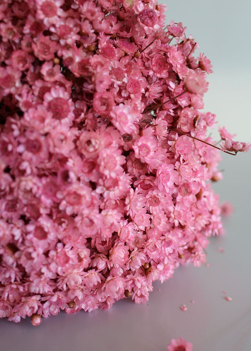 Dried Star Flower Bundle In Pink Approximately 3 Oz Bunch Pink