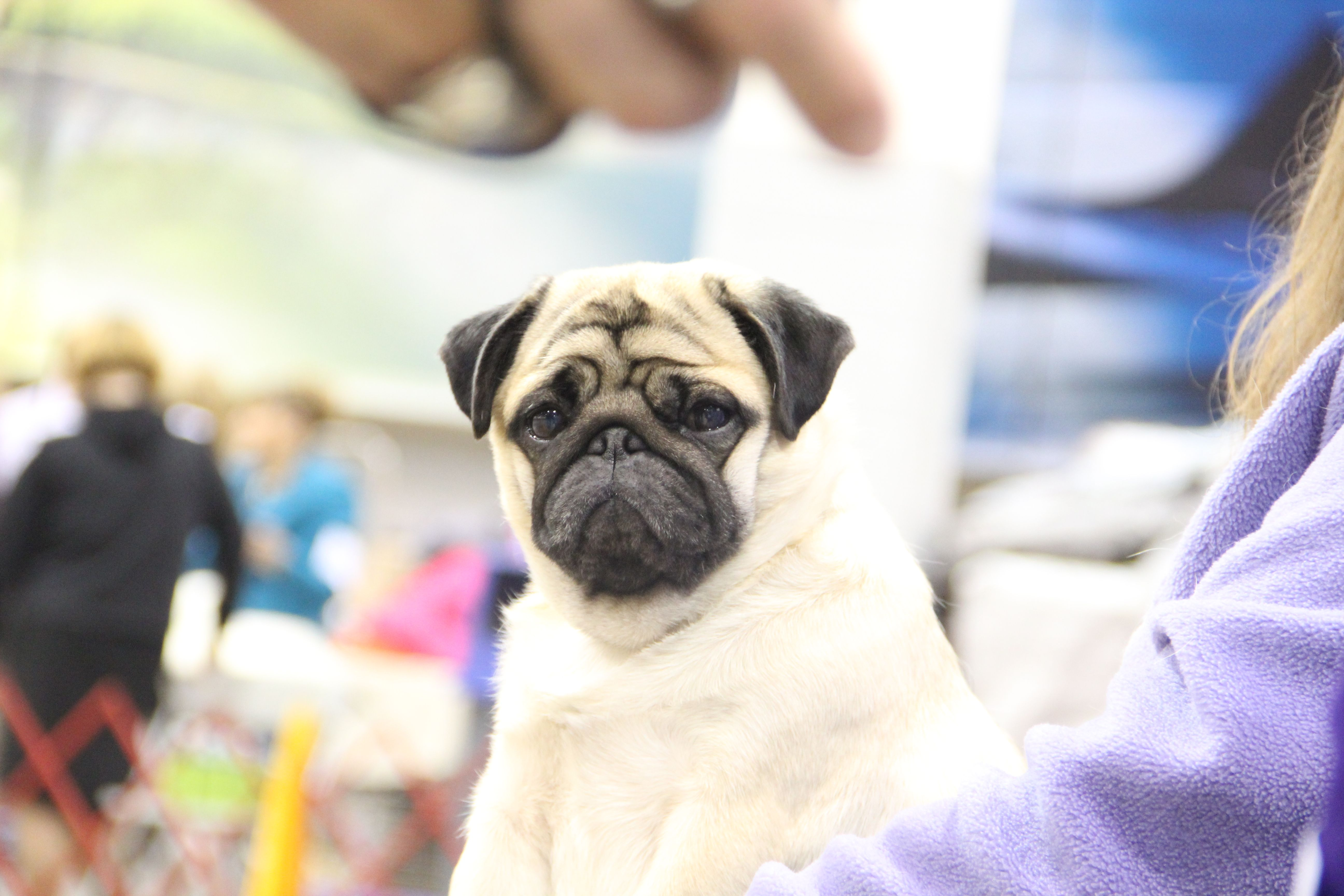Pin By Designs By Renee Llc On Dog Shows Dog Show Pugs Dogs