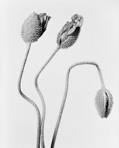 Robert Voit  Papaver orientale, türkischer Mohn, drei Blütenknospen, 2014