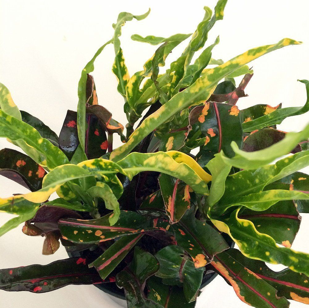 Croton Plant P*T Tall House Colorful 4 6 Nice 8 Dreadlocks 400 x 300