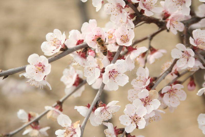 Cherry Blossoms 2 Cherry Blossoms In South Korea Sponsored Blossoms Cherry Korea South Ad Cherry Blossom Blossom Flowers