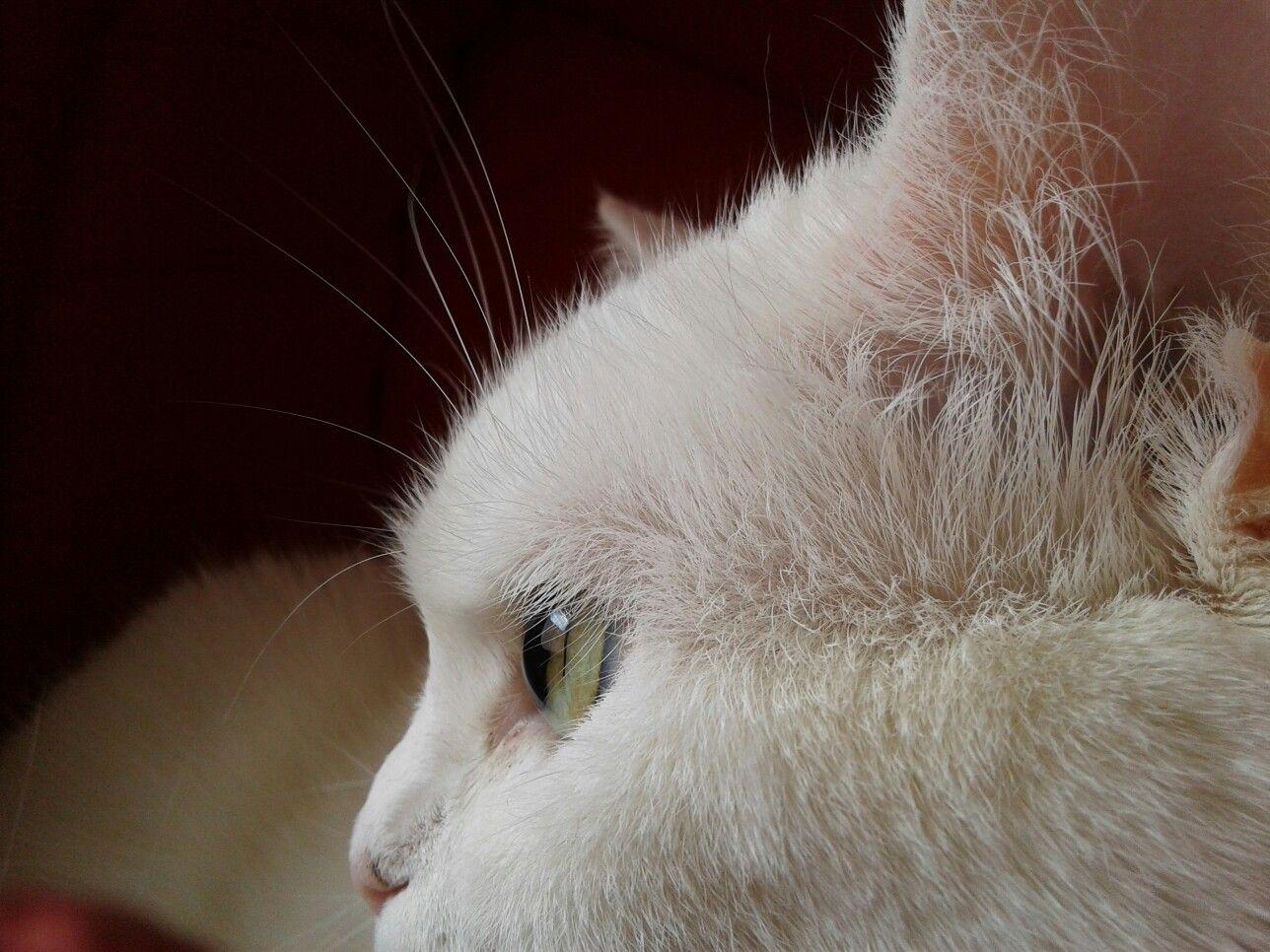 Angora // Persa #White #Snow #Kiut #Pretty #Nala #Cats