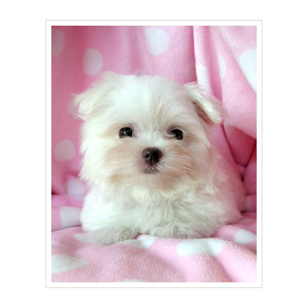 Teacup Maltese For Sale At Teacups Puppies South Florida Liked