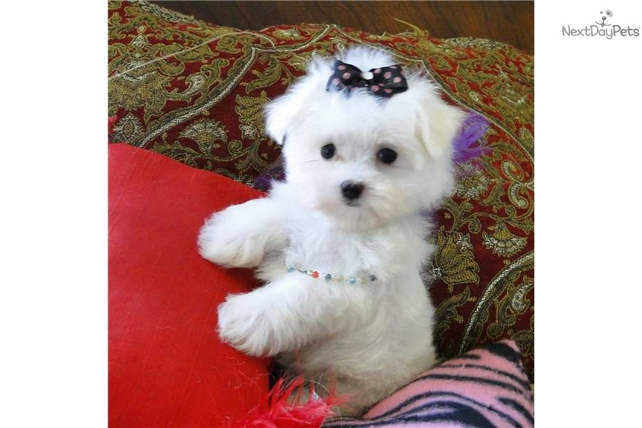Receive An Email Alert When Additional Maltese Puppies Are Added Description From Nextdaypets Com I Searched For This On Bing Com Images With Images Maltese Puppy