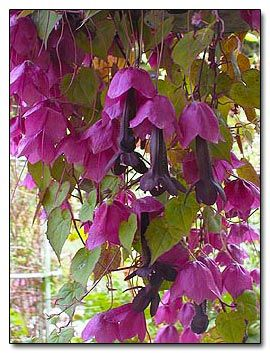 Rhodochiton atrosanguineum, Purple Bells. This plant is a perennial native to Southwest Mexico but it is such a vivacious grower it makes a wonderful annual. It is pictured on the authors trellis who cuts the plant back every year and stores it in her greenhouse for the winter, repotting it each spring. She notes that it is easily grown from seed in cooler weather, or root cuttings in the summer.