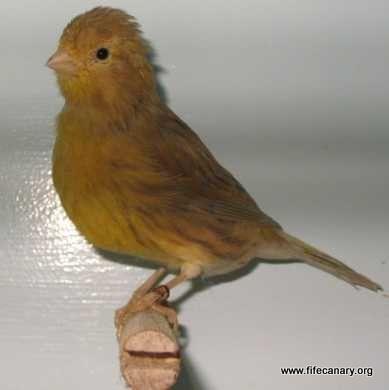 HV Cinnamon Canary