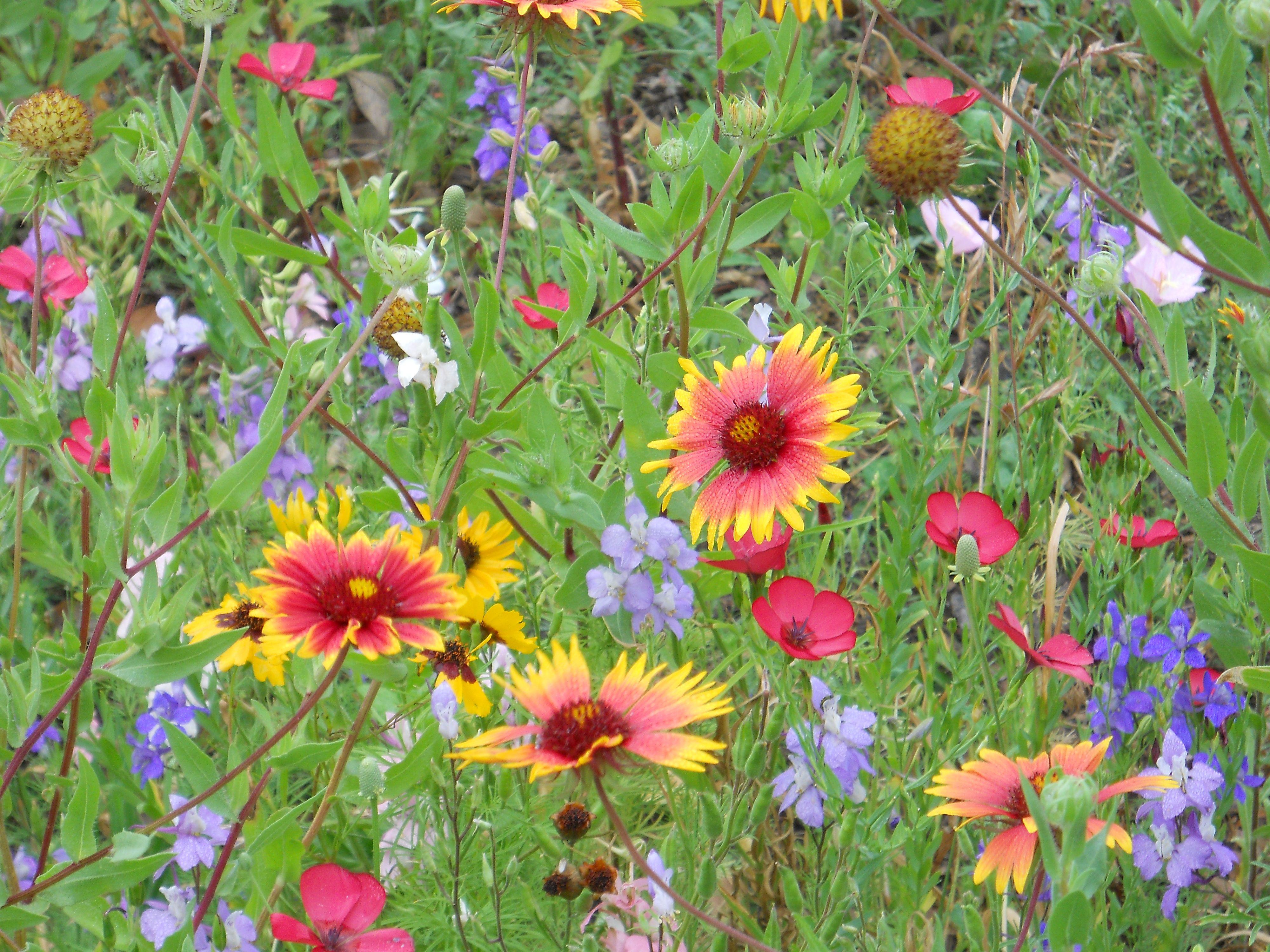 Wildflowers in my minimeadow include blanket flowers