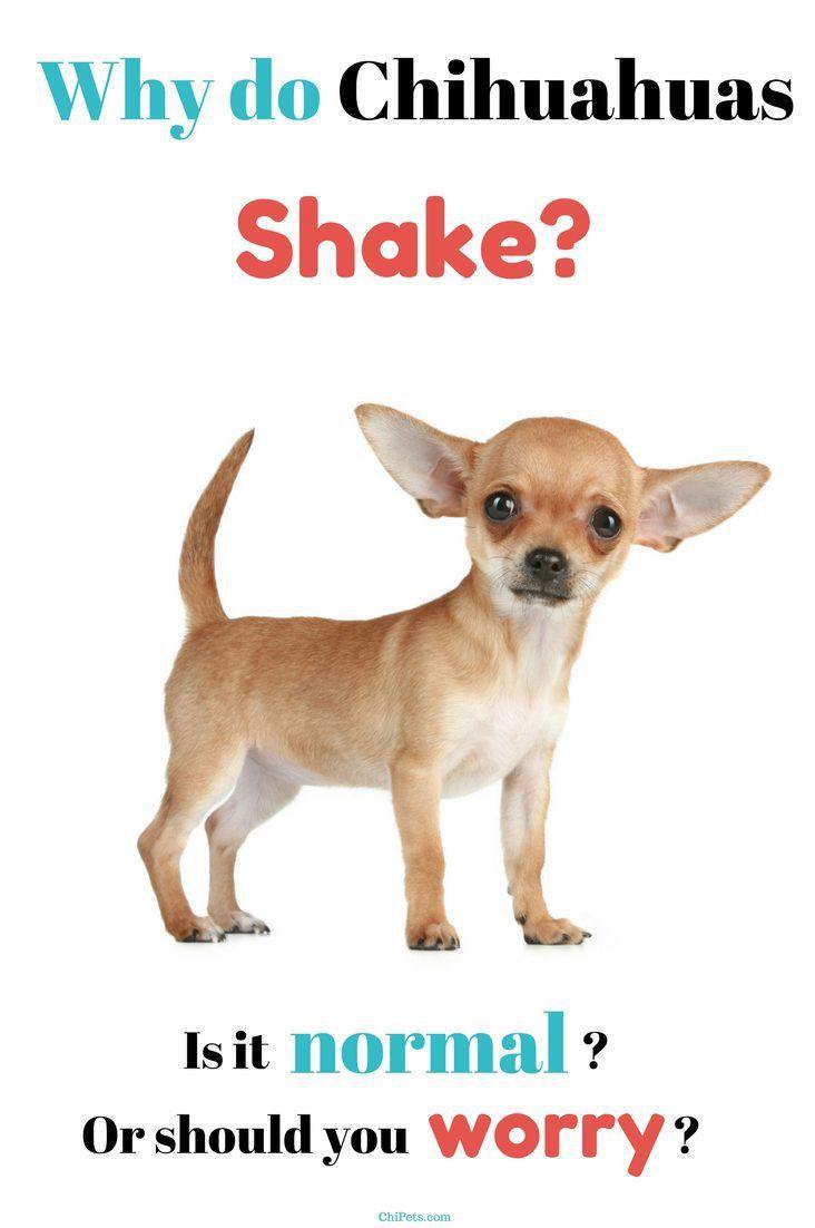 Why Do Chihuahuas Shake Dog Breeds Chihuahua Chihuahua Dogs