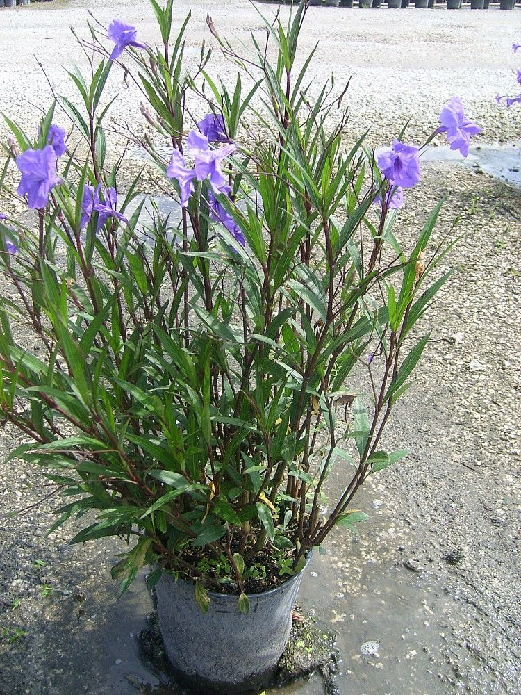 Ruellia Purple Showers Florida Plants Backyard Plan Amai Backyards Garden