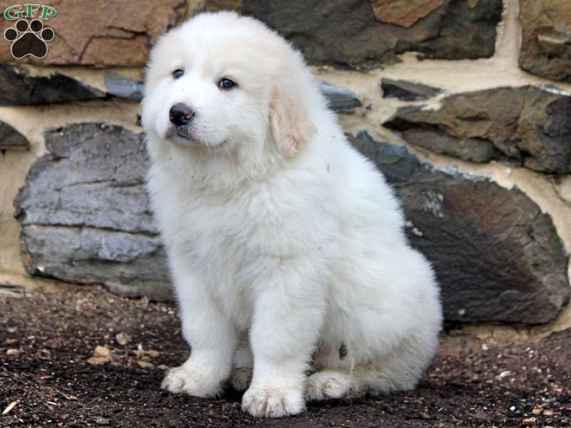 Finch Bich Poo Puppy For Sale In Pennsylvania Great Pyrenees
