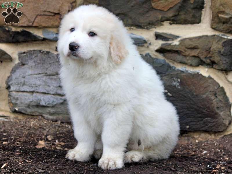 Golden Mountain Dog Puppies Pennsylvania Ideas
