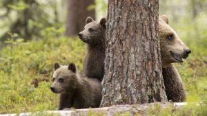Kimmo Ohtonen karhujen kanssa nokakkain