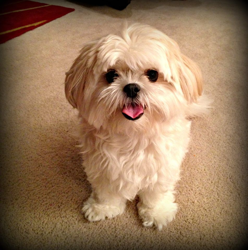 maltese mix with yorkie 4 year old quot lexie quot shih tzu maltese mix shih tzu 9389
