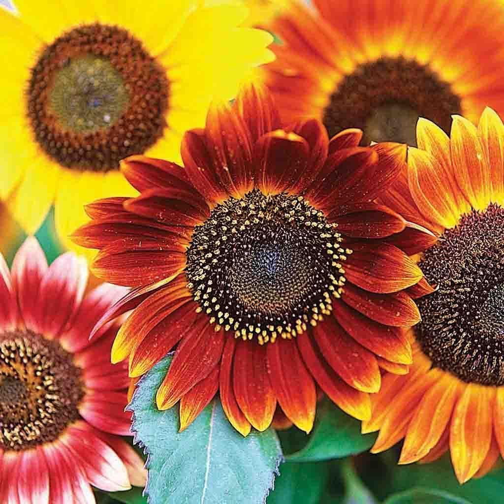 Sunflower Seeds Autumn Beauty Mixed Colors In 2020 Sunflower Colors Red Sunflowers Flower Aesthetic