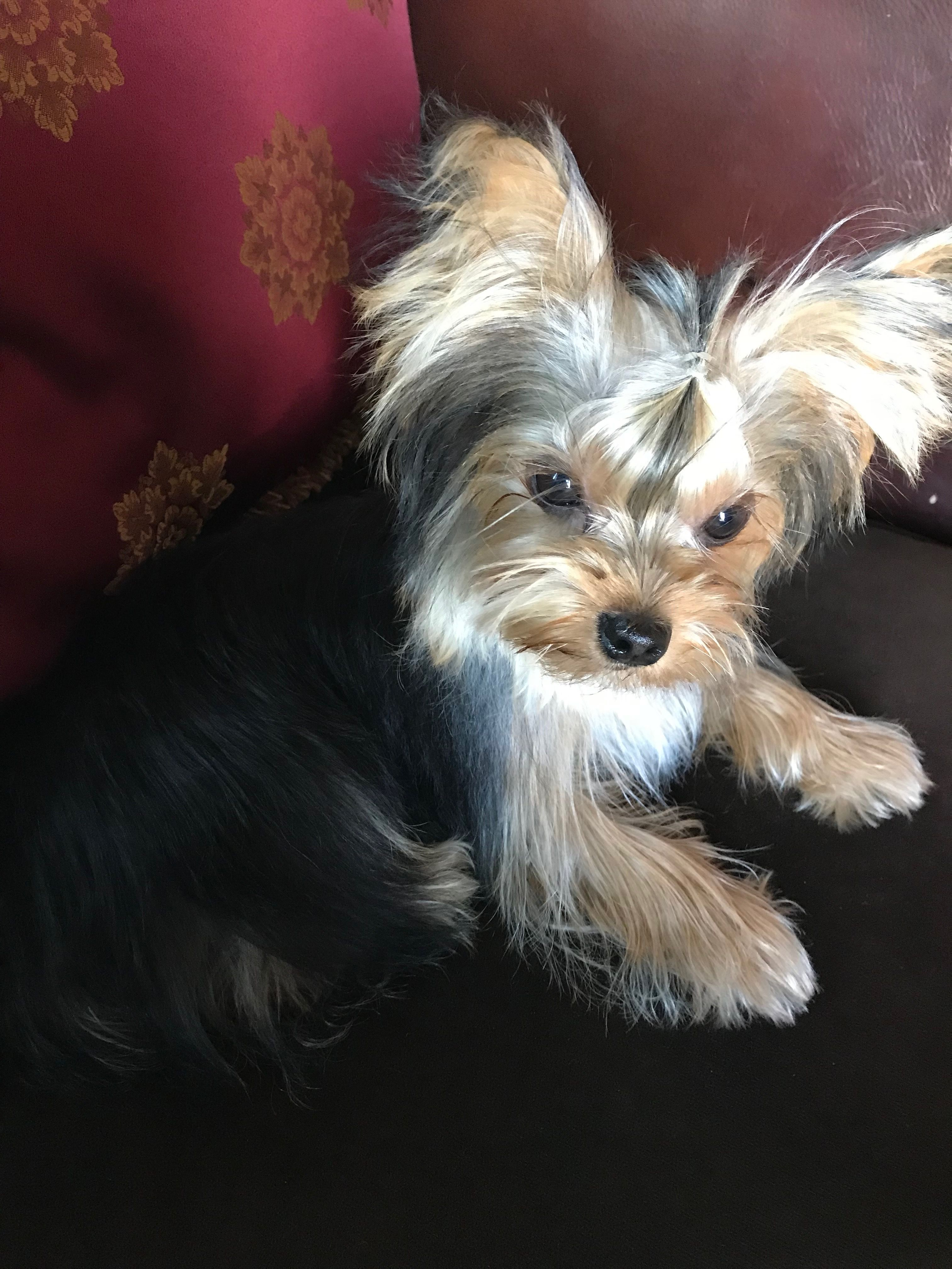 Puppy Kaya With Images Yorkshire Terrier Yorkshire Terrier Puppies Terrier