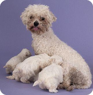 Chicago Il Maltese Poodle Miniature Mix Meet Reba Adopt