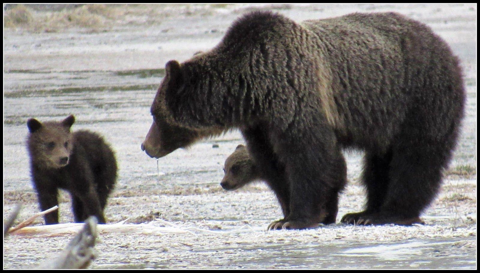 Wanderlust The World Awaits Adventure Travel Grizzly Bear Bear