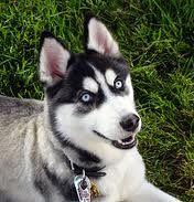 Siberian Husky 11 19 Traits Weight Male 50 75 Pounds 23 34 Kg