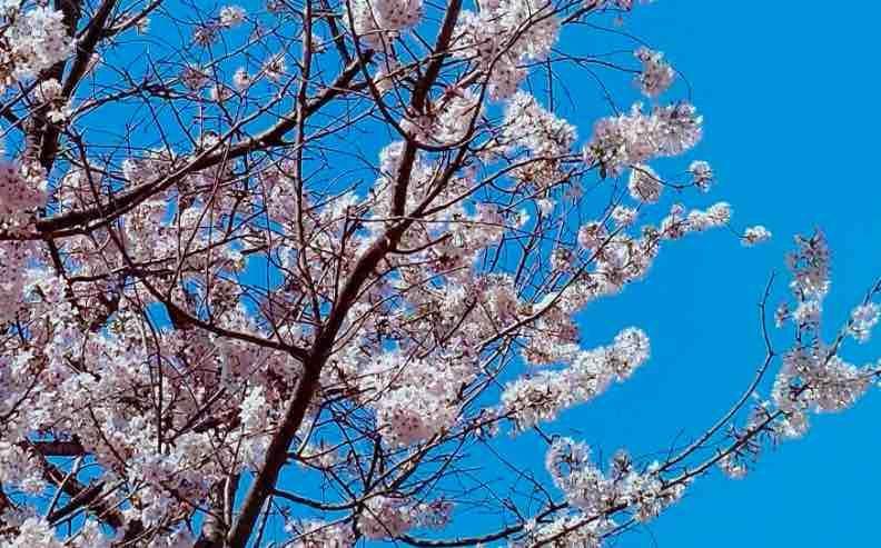 Second Cherry Blossom To Be Held In Shillong From November 8 Cherry Blossom Festival Yoshino Cherry Tree Blossom
