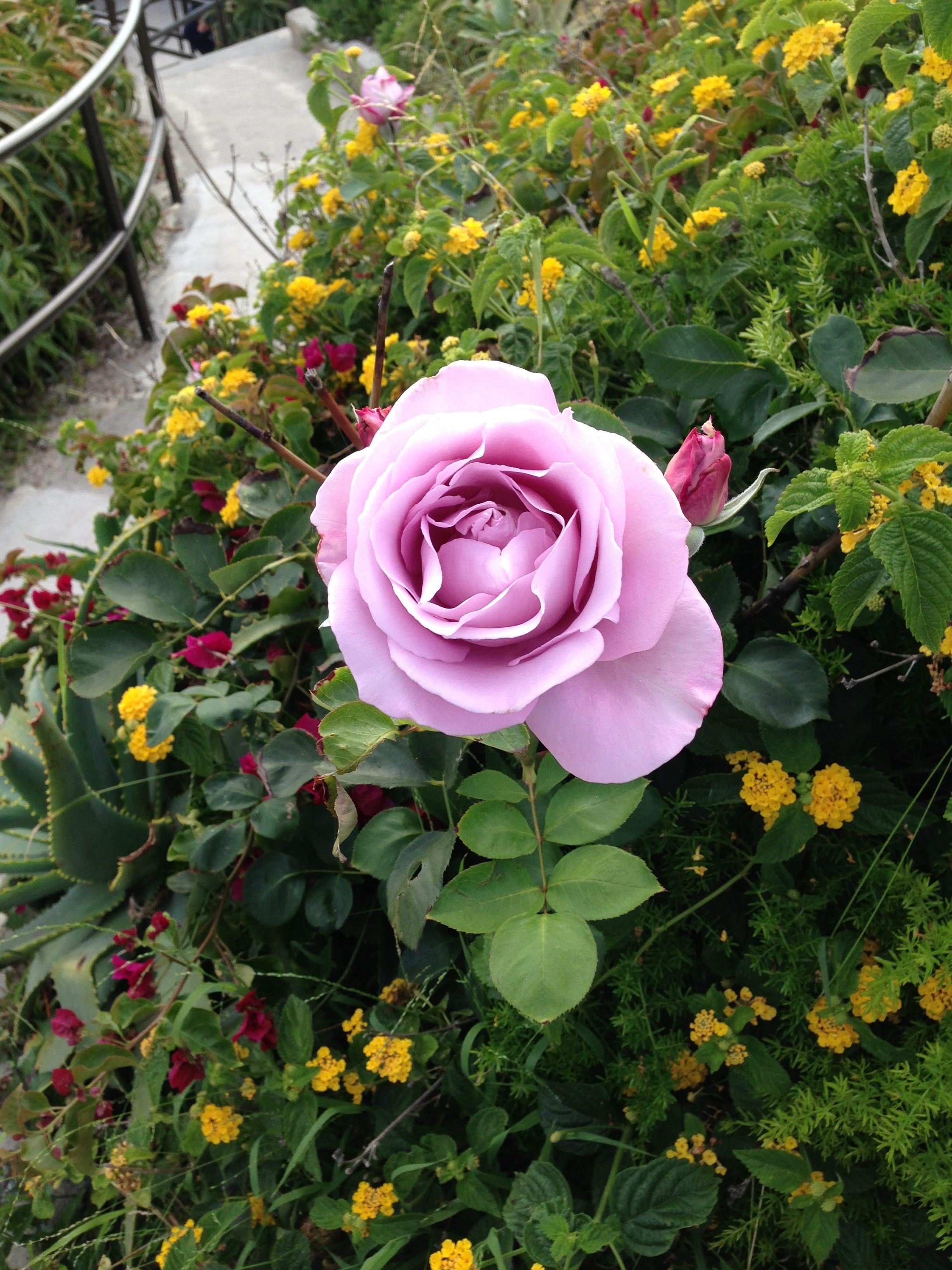 Beautiful purple rose in Laguna Beach California Smells like