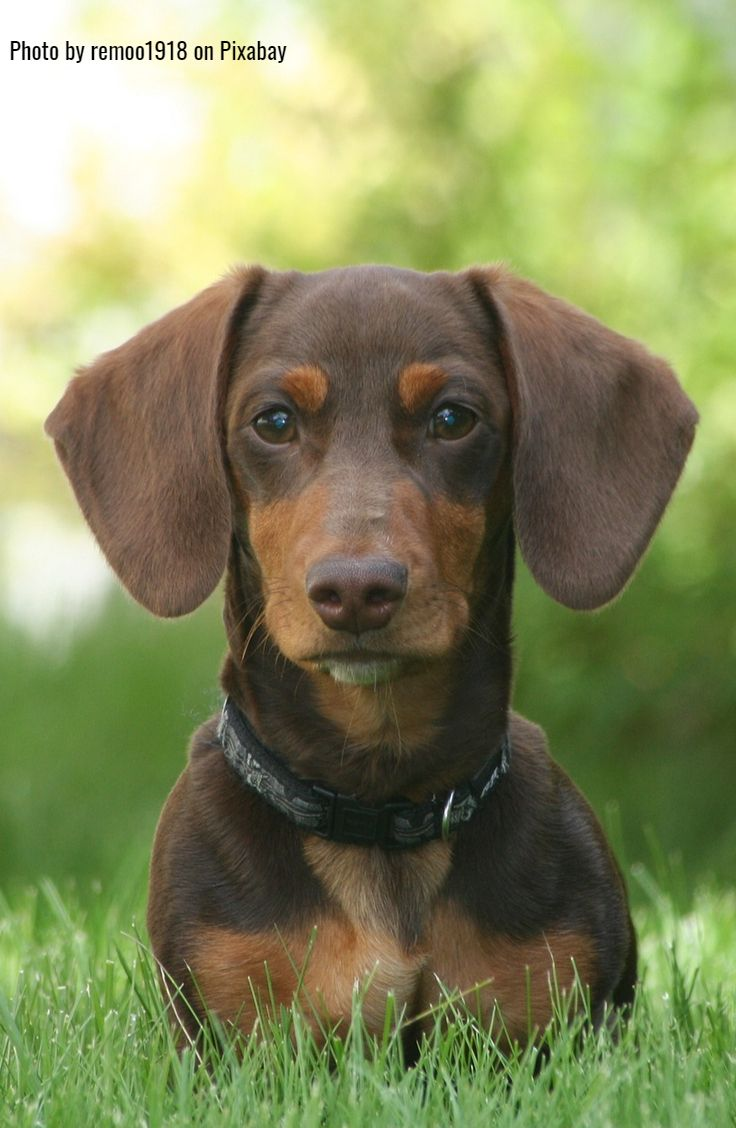 Dachshund clothes that actually fit cute dogs puppies