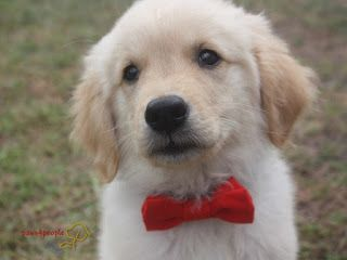 Rupp Looking Handsome In His Bowtie Is A Golden Retriever Puppy
