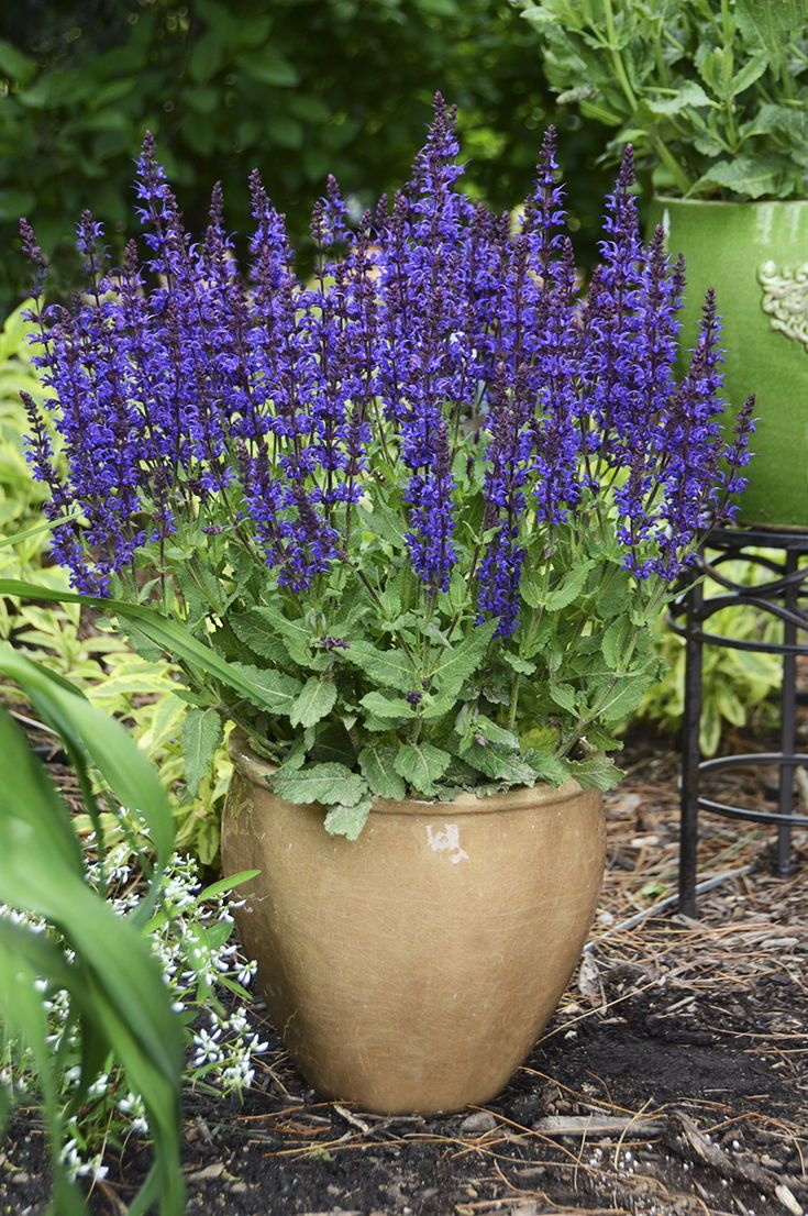 Color Spires Violet Riot Salvia Is Exactly That A Riot Of Color