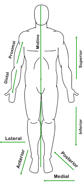 human figure diagram in anatomic position with labeled reference ...