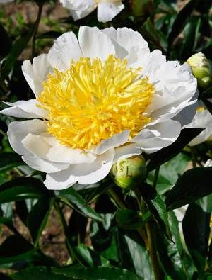 A prolific flowering plant with large white guard petals surrounding a prolific flowering plant with large white guard petals surrounding a centre of yellow staminoids that grow larger with as the flower ages flowers bor mightylinksfo
