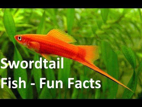 Swordtail Fish Care Size Lifespan Tankmates Breebing Aquarium