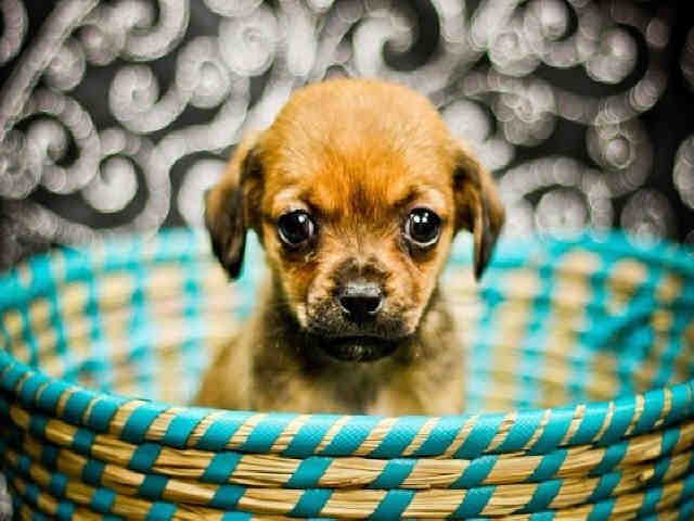 Texas Shelby Id A396819 Is A Spayed 8wk Chi Mix Puppy In Need Of A Loving Adopter Rescue At Harris County Public Health Environmental Services Animales