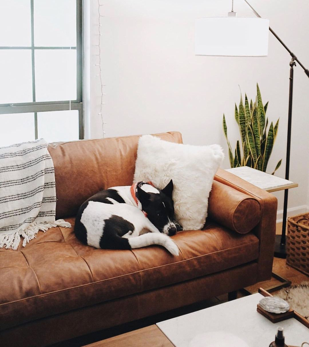 Poly Bark On Instagram Our Napa Leather Sofa Is Approved By Bychloewen S Adorable Puppy We Re So Happy She S E Poly Bark Leather Sofa Leather Couch