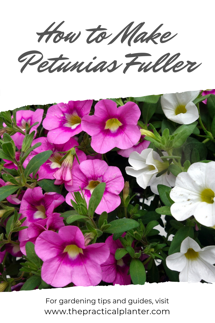 How To Make Petunias Fuller And Keep Them From Getting Leggy The Practical Planter Full Sun Container Plants Container Plants Plants