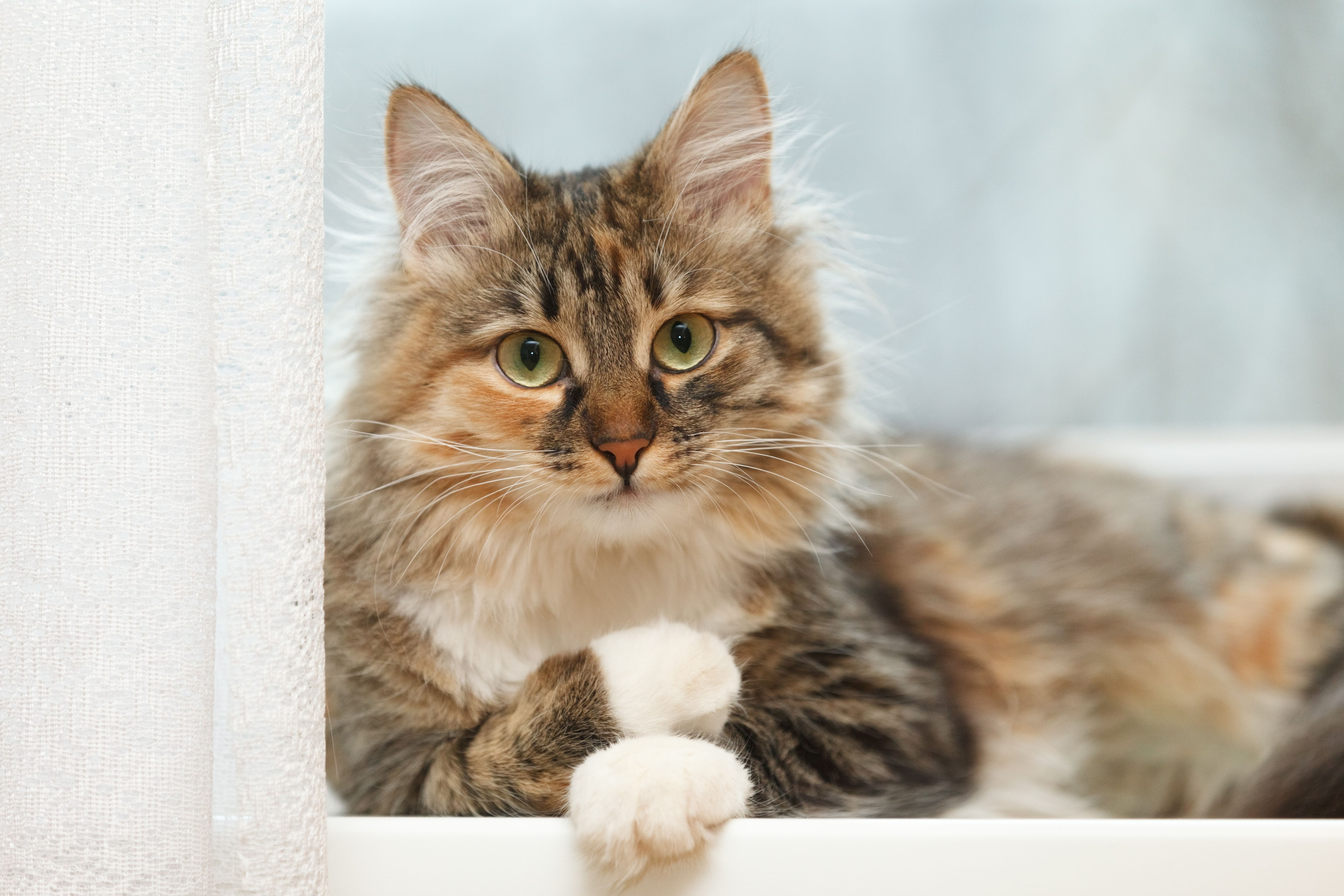 Persian Cat Ears in 2020 Cat fur, Long haired cats