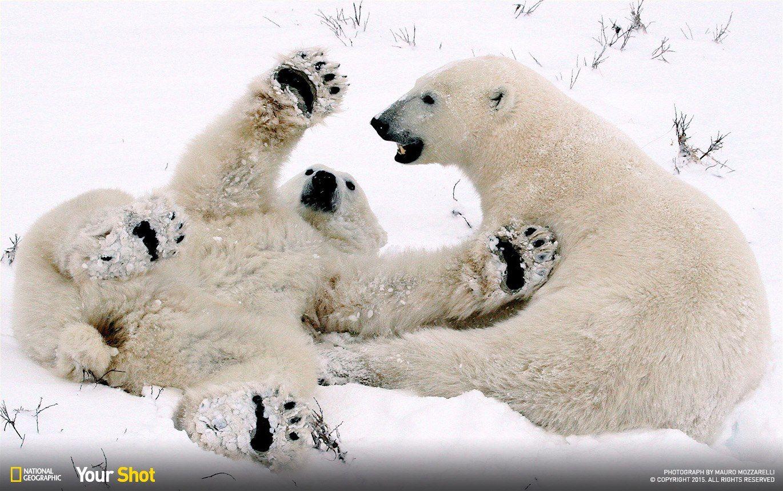 Pin on Polar Bears Endangered Wildthings