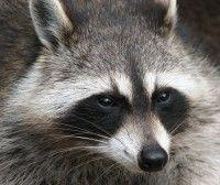 Raccoon, Mammal, Animal Messages, Totems, spirit-animals.com