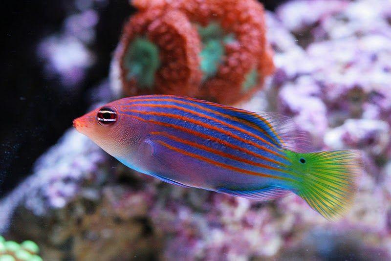 Sixline Wrasse Saltwater Fish Tanks Sea Fish Marine Fish