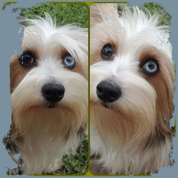 Blue Diamond Yorkshire Terriers Karmic Yorkies Gezina