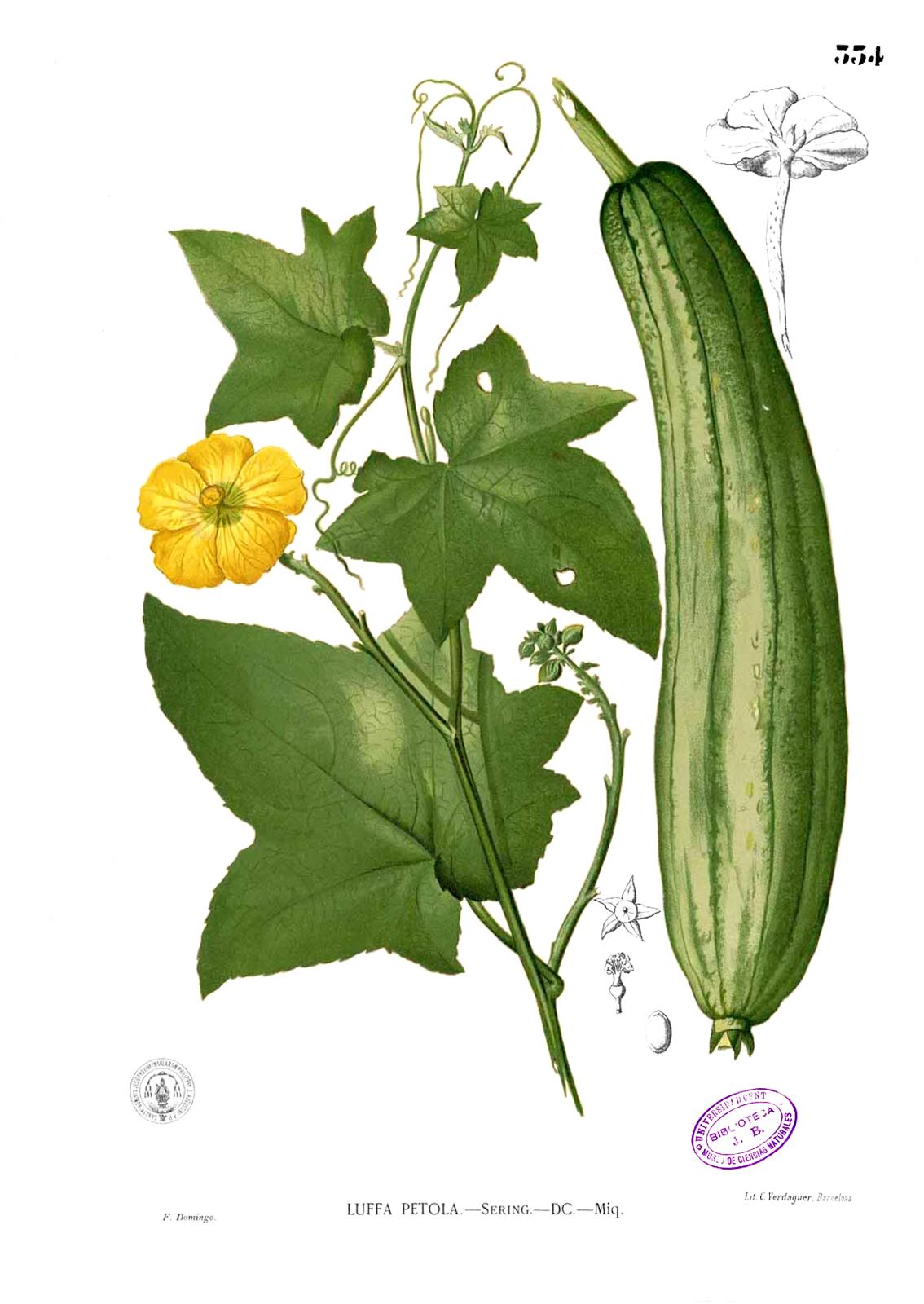 Cómo Sembrar Esponjas Vegetales Luffa Plant Sketches Luffa Botanical Illustration