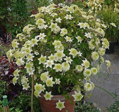 clematis florida alba plena   To make our garden grow!   Pinterest ...
