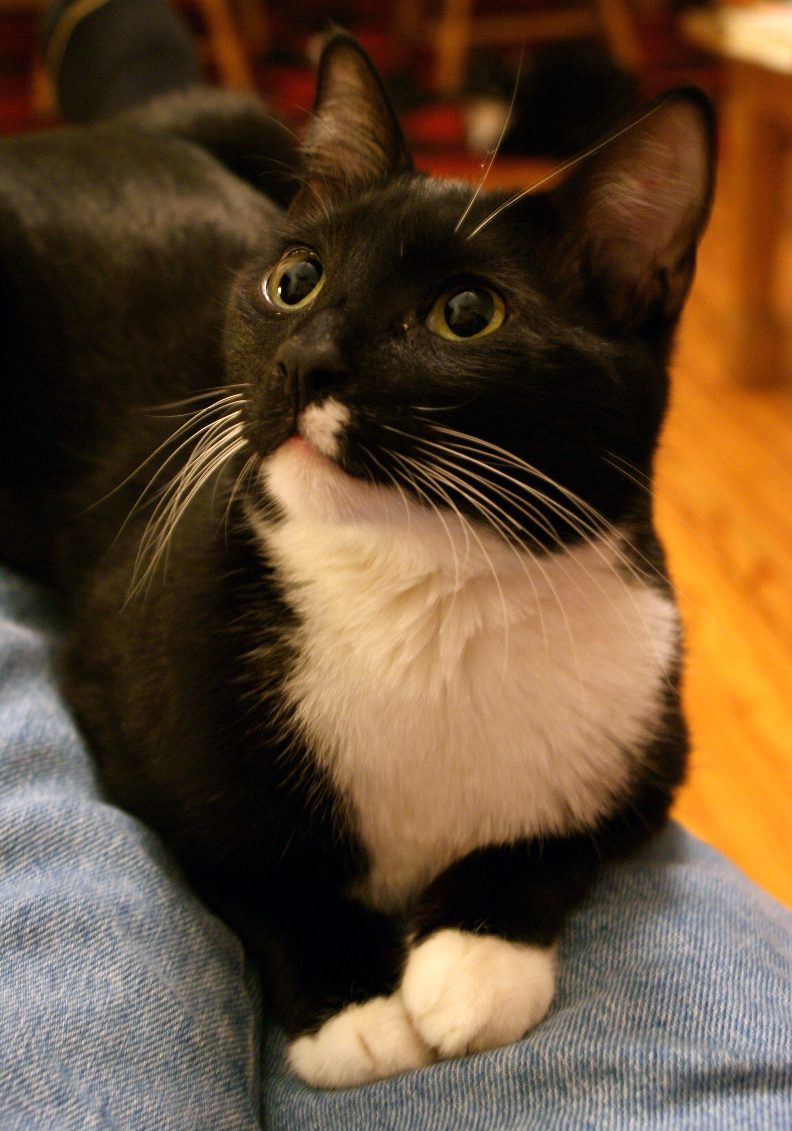 Description One year tuxedopattern male cat.jpg