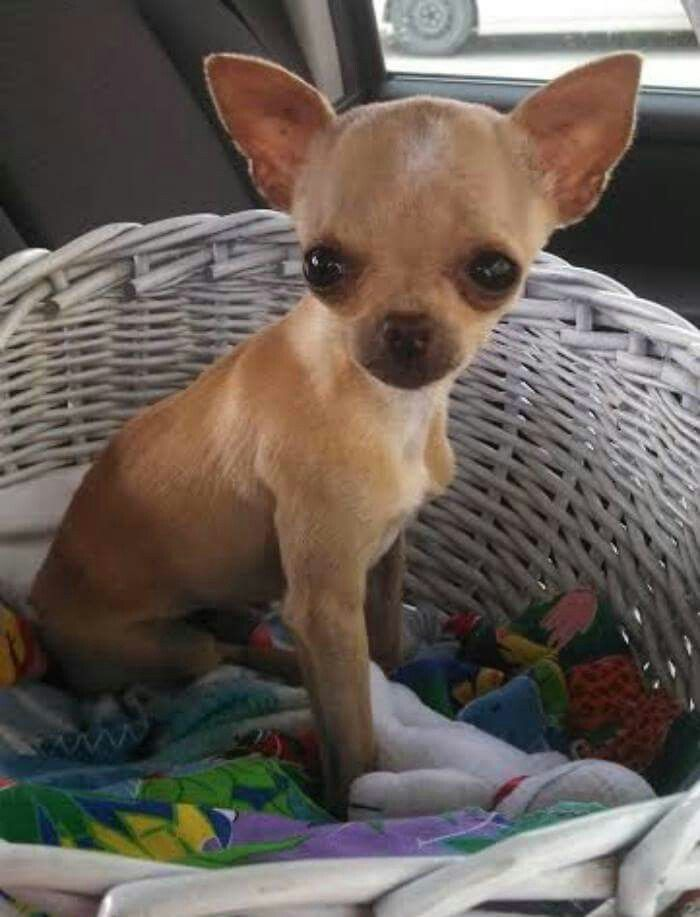 I LOVE CHIHUAHUAS … Not Your Beverly Hills Chihuahua