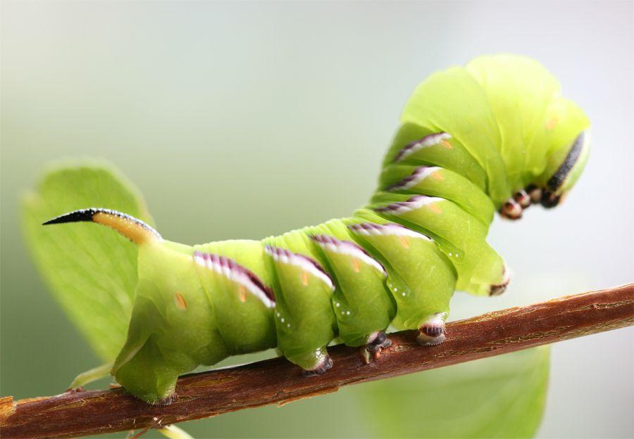 Insekt Makro raupe Schmetterling Wiese | Birds and animals ...